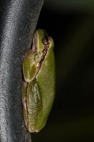 Hyla orientalis, Tigaki