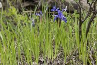 Iris cf. albomarginata, Arkit