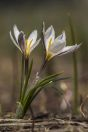 Crocus sp., Chatkal Range