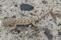 Mediodactylus narynensis, Džalalabád