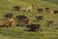 Herd, Karakol