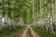 Birch trees, Cholpon Ata