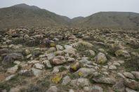 Habitat of Eremias arguta, Cholpon Ata