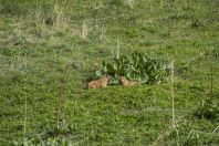 Marmota menzbieri, Ala Archa NP
