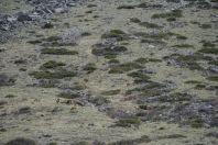 Capra sibirica, Ala Archa NP