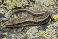 Asymblepharus alaicus, Ala Archa NP