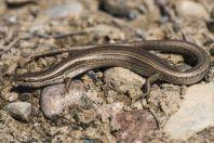 Ablepharus deserti, Kazarman