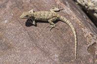 Mediodactylus narynensis, Kazarman