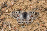Parnassius sp., Aral