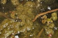 Natrix natrix and Pelophylax esculentus