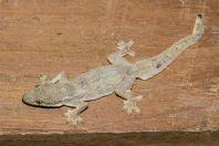 Hemidactylus platyurus, Vientiane