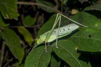Locust, Kaeng Nyui