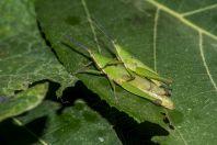Locusts, Kaeng Nyui