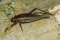 Cricket, Kaeng Nyui