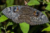 Butterfly, Kaeng Nyui