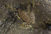 Amolops cremnobatus, Kaeng Nyui