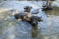 Water buffaloes, Vangvieng