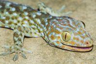 Gekko gecko, Vangvieng