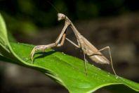 Mantis, Vangvieng