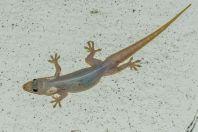 Hemidactylus platyurus, Kaeng Nyui