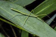 Stick insect, Kaeng Nyui