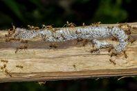 Snake skin, Kaeng Nyui