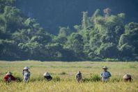 Rice field, Vangvieng