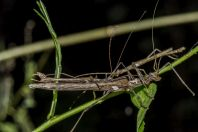 Stick insect, Konglor