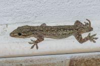Hemidactylus frenatus, Savannakhet