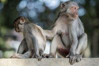 Macaques, Ban Dong Muong