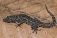 Hemidactylus frenatus, Tadlo