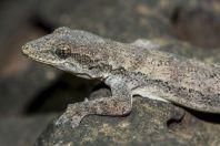 Hemidactylus platyurus, Tadlo