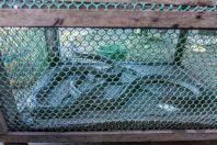 Snakes to eat, Tadlo