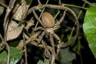 Sparassidae, Bolaven plateau