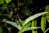 Opilionida, Bolaven plateau