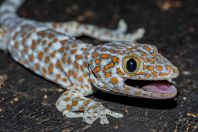 Gekko gecko, Muang Champassak