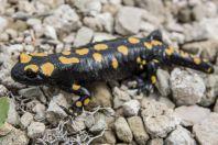 Salamandra infraimmaculata, Maaser El Chouf