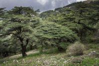 Cedrus libani, Maasser Cedar Forest