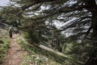 Maasser Cedar Forest