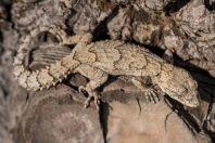 Mediodactylus orientalis, Maad