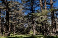 Cedars of God, Ariz