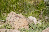 Phoenicolacerta kulzeri, Ariz