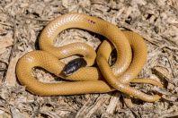 Rhynchocalamus melanocephalus, Daychouniyeh