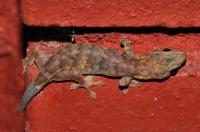 Hemiphyllodactylus titiwangsaensis