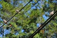 Streptopelia chinensis - Tanah Rata