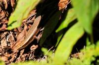 Scink Eutropis multifasciatus