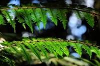 Kapradiny v Cameron Highlands