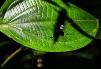Undetermined member of Opilionida - Cameron Highlands
