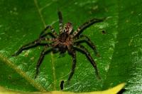 Sparassidae - Cameron Highlands