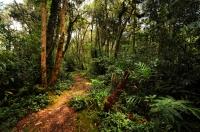 Upper montane vegetation - Cameron Highlands